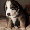 puppies_47tndi