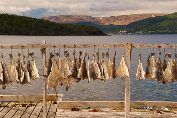 Drying Cod in Wild Cove