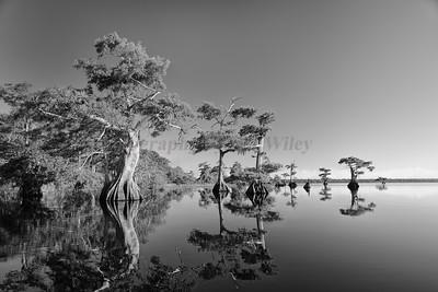 Cypress trees 1917