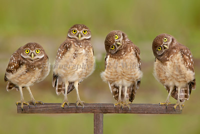 Burrowing Owls 6472 a