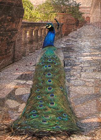 Peacock 5094