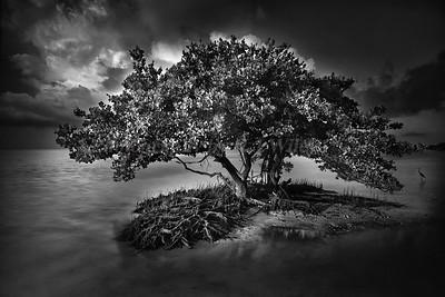 Mangrove 36 bw