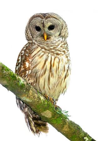 Barred Owl 3579 2