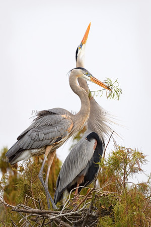 Great Blue Herons 509 a