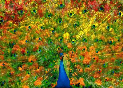 Peacock 5234 ab