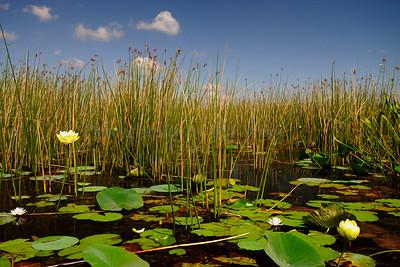 Lotus Flower 1331 A