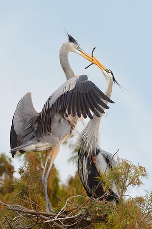 Blue Herons 298 a