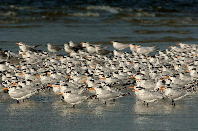 Royal Terns 854