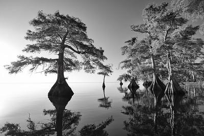 Cypress trees 1696