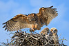 Great Horned owl 3004