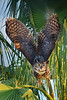 Great Horned owl 9574 2 a