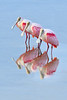 Spoonbills 5303 a