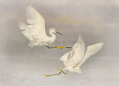Snowy Egrets 5880