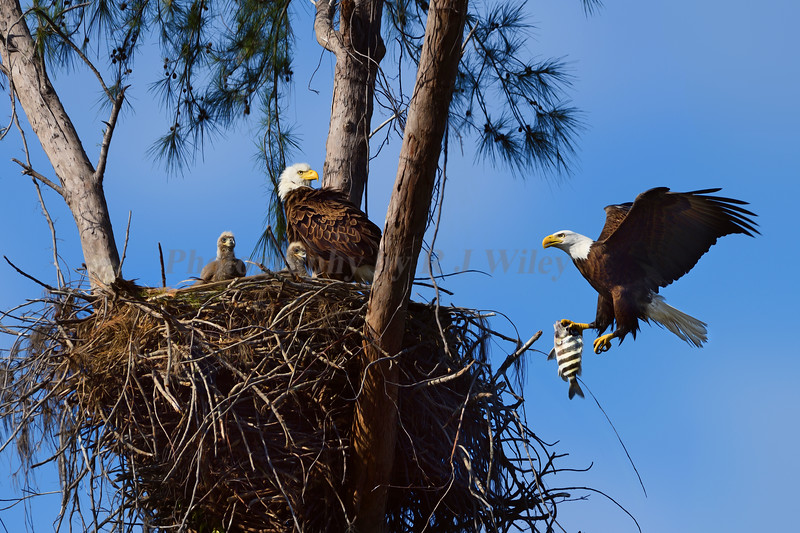 Eagle family 2965 a Marco Island