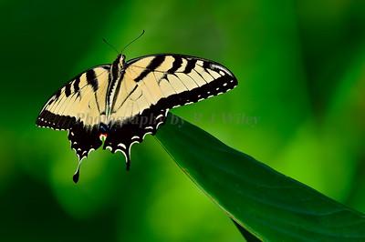 Tiger Swallowtail 6928