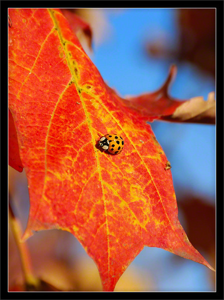 Fall Ladybug<br /> <br /> Each fall, a ladybug invasion occurs<br /> when the ladybugs search for warm<br /> places to hide from the coming winter.<br /> <br /> This ladybug takes a break on a leaf.<br /> <br /> Ann Arbor, Michigan<br /> <br /> 13-OCT-2008