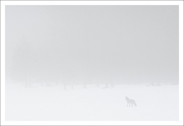 Foggy Hunt<br /> <br /> A coyote searches for small voles<br /> beneath the snow-covered meadows.<br /> <br /> Yosemite National Park, California<br /> <br /> 10-DEC-2010