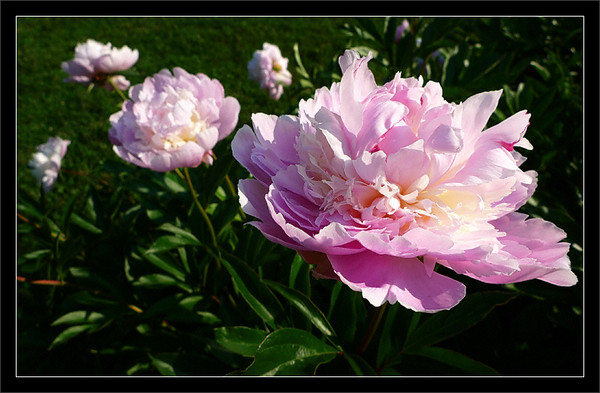 Pink Peony<br /> <br /> Double-form peony flower<br /> (One of many in a large peony garden)<br /> <br /> Nichols Arboretum (Arb)<br /> University of Michigan, Ann Arbor<br /> <br /> 14-JUN-2009