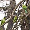 aa-fs-parakeets.jpg