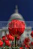 Capitol Hill Tulip