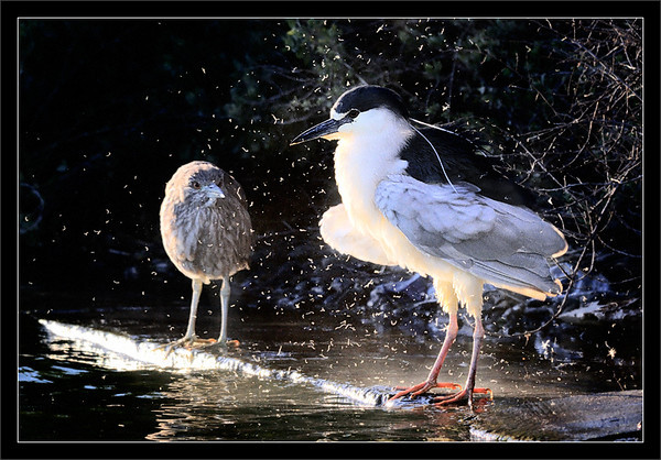 Cloud of Down<br /> <br /> A juvenile black-crowned night heron watches<br /> an adult create a downy mess from ruffling feathers.<br /> <br /> The black-crowned night herons have come<br /> to the water's edge at sunset to feed.<br /> <br /> Palo Alto Baylands, California<br /> <br /> 13-MAR-2010