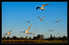 Competitive Fishing<br /> <br /> A large flock of Forster's terns hover<br /> above the water looking for small fish.<br /> <br /> They occasionally lunge at each other<br /> to defend their favorite fishing spots.<br /> <br /> Shoreline Park<br /> Mountain View, California<br /> <br /> 30-JUN-2011