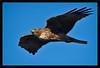 Juvenile Red-Tailed Hawk<br /> <br /> Shoreline Park<br /> Mountain View, California<br /> <br /> 23-FEB-2013
