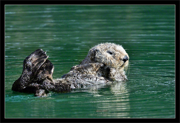 Grooming Break<br /> <br /> A southern sea otter takes a rest from<br /> vigorously grooming its head after breakfast.<br /> <br /> Monterey Bay<br /> Moss Landing, California<br /> <br /> 27-NOV-2011