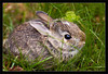 "Spring Bunny<br /> <br /> A very young, wild bunny (5"" long and probably just over 4 weeks ago)<br /> striking it out on his/her own away from the nest<br /> <br /> The bunny was hiding quietly and happily<br /> in some short, tasty grass.<br /> <br /> Ann Arbor, Michigan<br /> <br /> 05-MAY-2007"