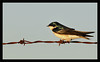 Bird on a Barb<br /> <br /> A tree swallow perches directly<br /> on a barb in the thorny wire.<br /> <br /> Shoreline Park<br /> Mountain View, California<br /> <br /> 03-MAY-2010
