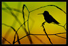 Hummingbird Silhouette<br /> <br /> An Anna's hummingbird perches against<br /> sunset-light falling on spring fields.<br /> <br /> Shoreline Park<br /> Mountain View, California<br /> <br /> 04-APR-2011