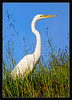Great Egret in Tall Grasses<br /> <br /> A great egret hunts in the grasses.<br /> <br /> The egret's green lores are a<br /> sign of the breeding season.<br /> <br /> Don Edwards SF Bay<br /> National Wildlife Refuge<br /> Fremont, California<br /> <br /> 16-APR-2011