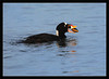 Surf Scoter with Clam<br /> <br /> A surf scoter finds a clam and<br /> swallows it whole (shell and all).<br /> <br /> (I saw it eat about 6 of them!)<br /> <br /> Shoreline Lake<br /> Mountain View, California<br /> <br /> 04-MAR-2011