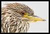 Juvenile Night Heron Portrait<br /> <br /> Juvenile black-crowned night heron <br /> (a few months old) in the morning<br /> <br /> Baylands Park & Nature Preserve<br /> Palo Alto, California<br /> <br /> 15-AUG-2010