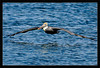 Brown Pelican Over Water<br /> <br /> A brown pelican shows its 7-foot<br /> wingspan as it flies out to sea.<br /> <br /> Moss Landing, California<br /> <br /> 27-NOV-2011