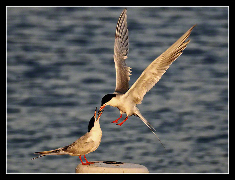 Ritual Feeding<br /> <br /> A male Forster's tern hovers and<br /> feeds his potential female mate.<br /> <br /> The male must demonstrate that<br /> he is a good fisher who can<br /> successfully provide for offspring.<br /> <br /> Shoreline Park<br /> Mountain View, California<br /> <br /> 15-MAY-2010