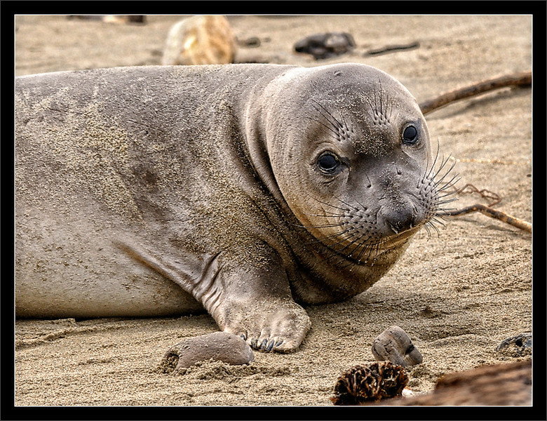 """Elephant Seal Weaner<br /> <br /> A sleepy """"weaner"""" elephant seal takes a<br /> break from napping to take a look around.<br /> <br /> The pup recently molted and lost its dark<br /> baby fur. The pup is about 6 weeks old.<br /> <br /> The moms leave the pups after 4 weeks of nursing.<br /> The weaners are left to learn how to swim before<br /> they go out to sea (a long swim to Alaskan waters).<br /> <br /> These northern elephant seals grow to be as long as<br /> 16 ft. and as heavy as 5,000 pounds.<br /> <br /> 03-APR-2010"""