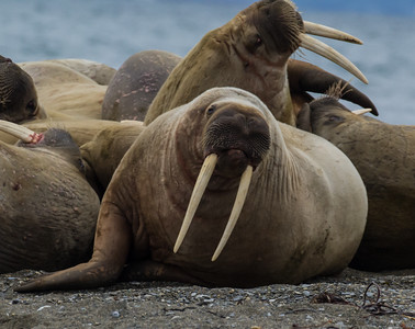 Walrus on the beach, #27