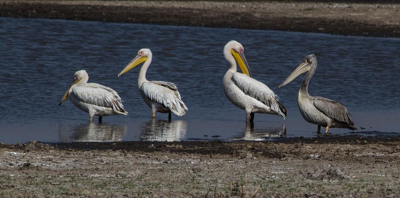 White pelicans with dark friend, #1