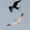 Magnificent Frigate Bird, Caspian Tern