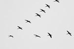 White Ibis Flight Formation