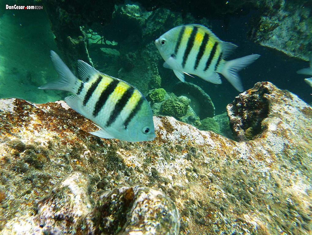Striped Fish at the Shipwreck