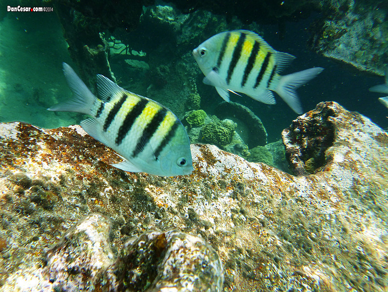 Striped Fish at the Shipwreck