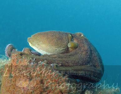 Octopus Leaving