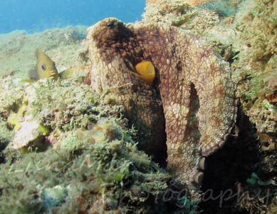 Octopus & Damsel 2