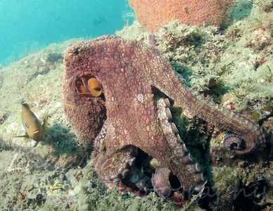 Octopus & Damsel