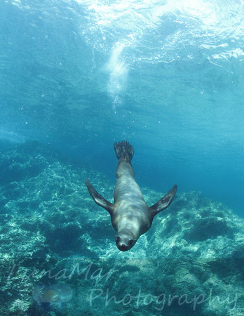 Dive Bombing Sea Lion