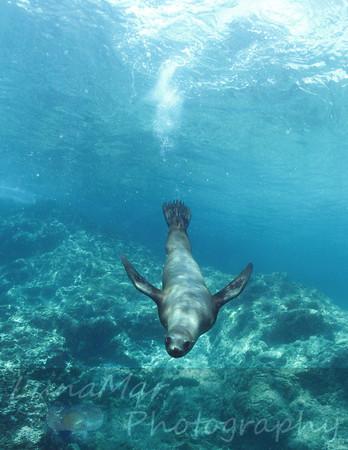 Dive Bombing Sea Lion