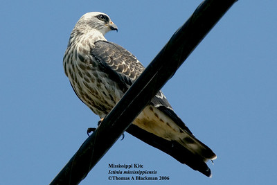 This kite is a rare visitor to S Calif.
