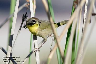 Common Yellowthroat 1st year male